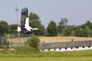 Stork in flight in Suwalki Landscape Park, Poland.
