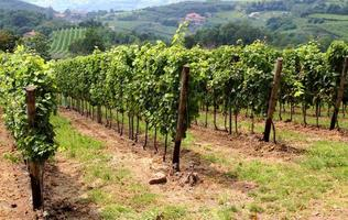 beautiful vineyards in the countryside of Tuscany