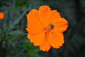 Beautiful orange flower with  fly