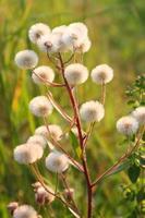 Fluffy dandelion photo