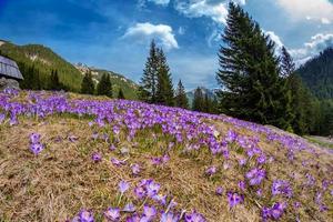 Beautiful crocus flowers in Tatry