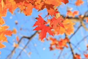folhas de maple outono
