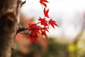 Autumn fall maple foliage
