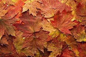 Red Autumn Maple Leaves Background