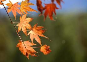 hojas de arce