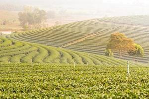 green tea plantation.
