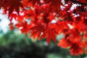 Autumn fall maple foliage