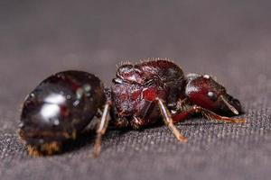 Hormiga marrón roja sobre fondo negro, macro