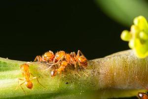 hormigas rojas en una planta