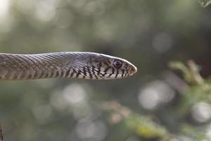 cabeza de serpiente marrón