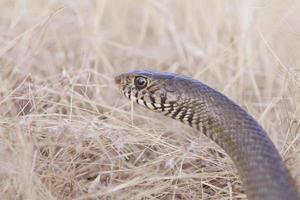 pequeña serpiente marrón foto