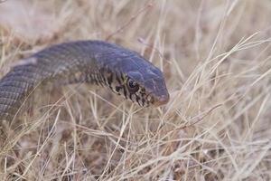 serpiente marrón en la hierba foto