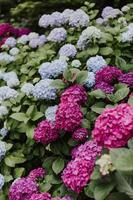 Full bloomed pink and blue hydrangeas