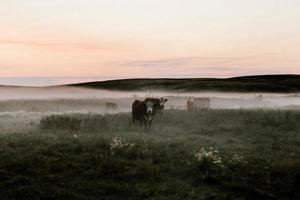 vacas negras que pastan en la hierba verde foto