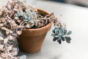 Dried green succulent plant photo
