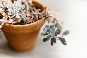 Succulent plant in rustic clay pot