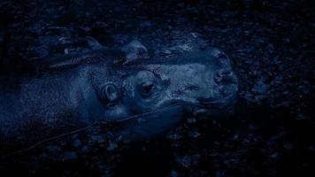 hippopotame plonge dans le lagon la nuit video
