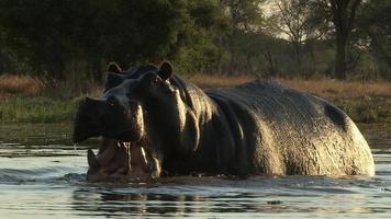 hipopótamo-touro atacando a câmera, botswana