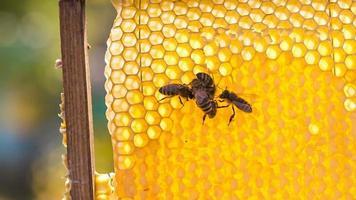 grupo de abejas en panal