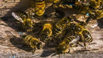 Miel de abejas a la entrada de la colmena. disparo macro.