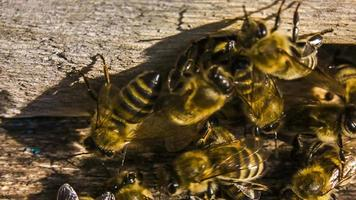 macro cámara lenta. abejas en la entrada de la colmena