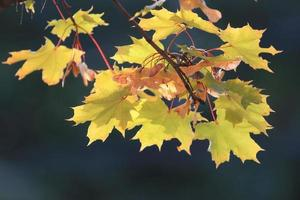 orange yellow leaves on a branch concept autumn