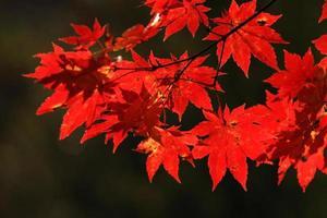 hoja de arce roja del otoño como fuego foto