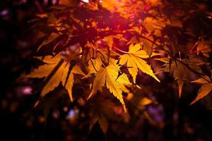 Autumnal maple leaves and sunlight