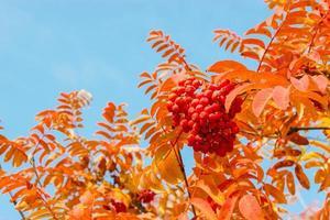 hojas de serbal y bayas foto