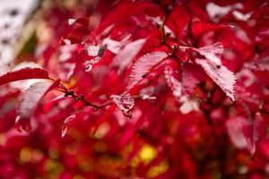 Red autumn leaves under the rain. Marsala color tones.
