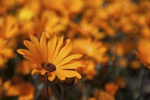 Orange Namaqua daisies growing wild in South Africa