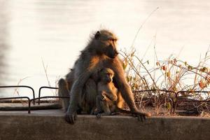 Chacma baboon mother with young