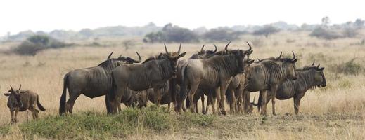 Herd of Wildebeest On Safari photo