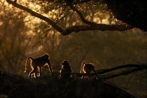 Babuinos temprano en la mañana, el Parque Nacional Kruger, Sudáfrica