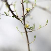 Flowering dogwood photo