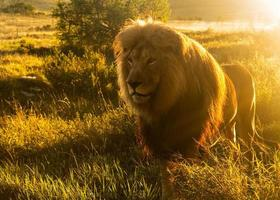 Old male lion in the grass of Southern Africa