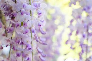 Hanging Wisteria photo