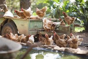 Chickens on truck in barnyard photo