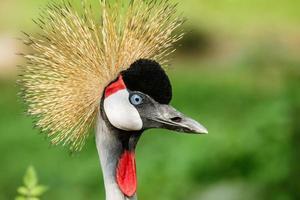 Beautiful Grey Crowned Crane close up