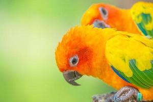 close up shot of Sun conure beautiful colorful parrot