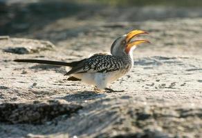 Yellow-billed hornbill photo