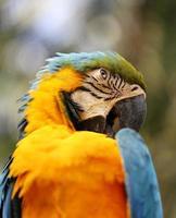 portrait of a blue parrot photo