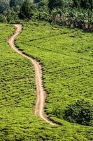 Bright green teafields with sand road passing through. photo