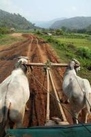 Traditional oxcart photo