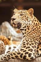 Leopard photo