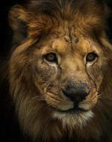 retrato de un leon foto