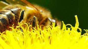 abeja en diente de león