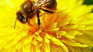 abelha em dente de leão video