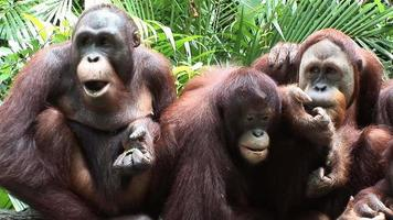 família de chimpanzés comendo video