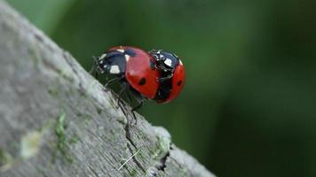 Ladybugs in nature